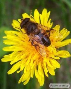 Пчелы, пчелопакеты продам