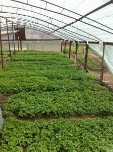 Продается рассада помидоров, огурцов, перцев, баклажанов, сельдерея