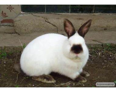 Продам племенные кролики калифорнийской породы