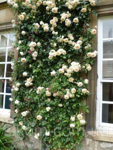 Троянда англійська Perpetually Yours (Перпешуалі Йорс) (Cl)