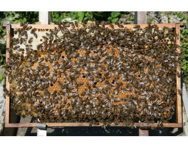 Продам бджіл (бджіл)
