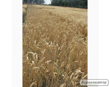 Насіння пшениці озимої - сорт Подолянка. Еліта й 1 репродукція