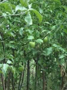 Саджанці яблунь оптом 2летние сортів Лігол і Чемпіон