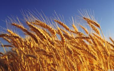 Продам зерно пшениці готівковий розрахунок