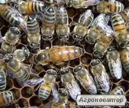 Продам бджоломатки Бакфаст F1