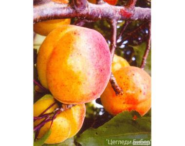 Саженцы абрикоса сорта Цегледи Бибер, от производителя