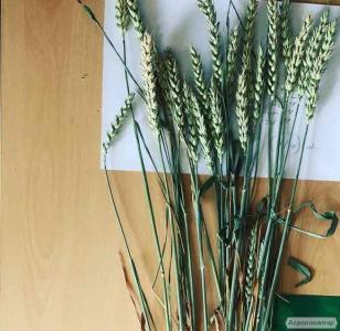 Новелл (Novell),Джерси (JERSEY),семена высокоурожайной пшеницы.