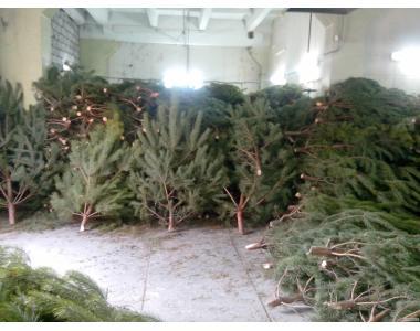 елка, новогодняя сосна оптом днепропетровск