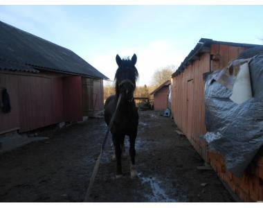 Продам лошадь 9 лет