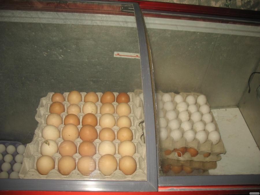 Продам яйцо инкубационное от несучки Ломан Браун