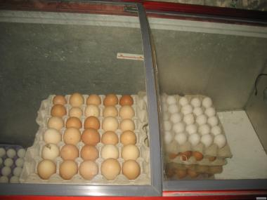 Продам яйце інкубаційне від несучки Ломан Браун