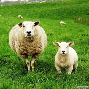 Продаю выделенную овечью шкуру
