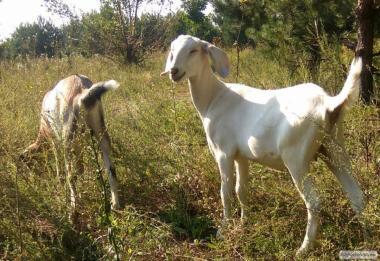процентные нубийськие козы