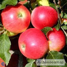 Яблуня Діскавері