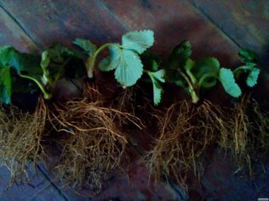 Реализуем рассаду клубники сорт Альбион