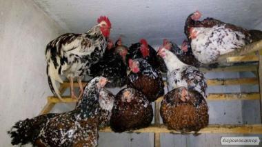 Яйца инкубационные, лівенські ситцевые