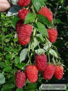 Малина - ягода