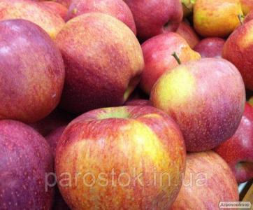 Яблоня Камео. Саженцы яблони зимних сортов.