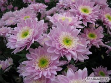 ПРОДАМ держак хризантеми