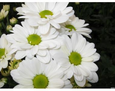 ПРОДАМ оптом черенок хризантемы