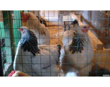 инкубационные яйца кур,уток,гусей.