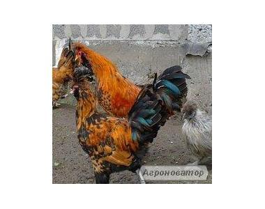 інкубаційні яйця курей,качок,гусей.