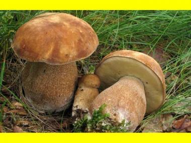 Міцелій Білого гриба сітчастого (Boletus reticulatus, Boletus aestivalis)
