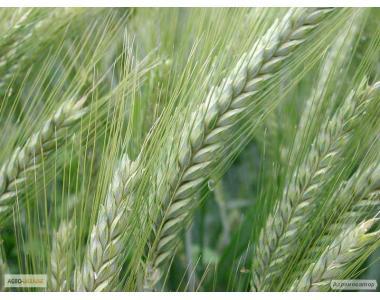 Семена посевного тритикале озимого Киевское раннее