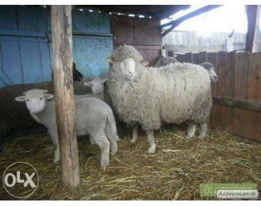 Продам овец и баранов