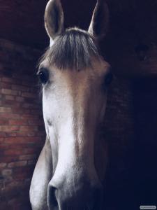 Продам коня(Малопольский)