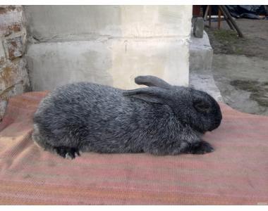 Продам или обмен кроля Полтавское серебро на племя