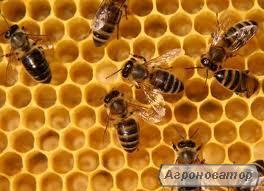 Бджолині Матки українська степова