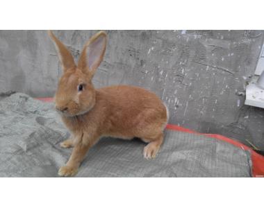 Продам кролики породи Бургундець і Каліфорнієць