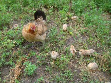 курка Бентамка з курчатами + курочки і півники дорослі, продам