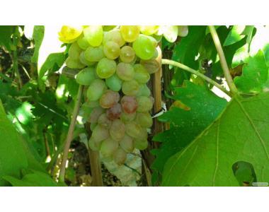 Вино собственного производства Бастардо высшего качества