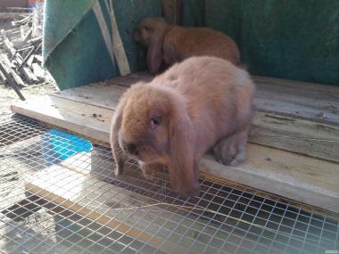 Продам кроликов порода французский баран