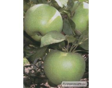 Саджанці яблуні Ренет Симиренка