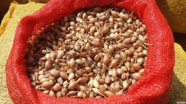 Продам лук-севок ( 0,8-1,2 см) Голландия, ТОP Onions