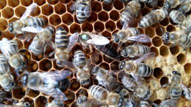 Пчеломатки Карпатка 2019 год Пчеломатка плодная