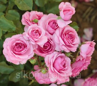 Роза розовая поліантова Avenue Pink