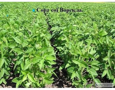 Продам насіння сої Ворскла, 1 репродукція!