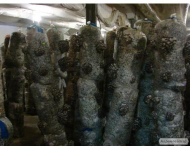 Продаю зерновой мицелий вешенки и шии-таке Киев