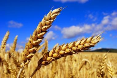 Продам пшеницю 6 клас