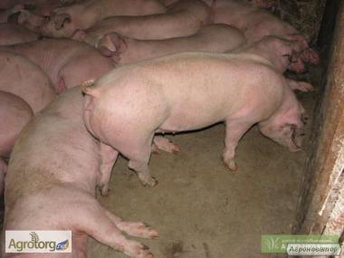 Продам свиней сальной и м ясной породы