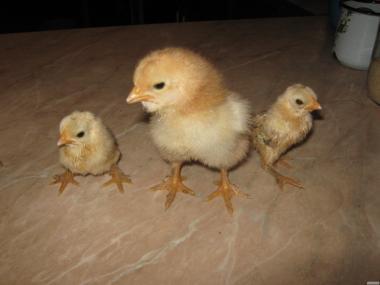 Домашні інкубаційні яйця м'ясо-яєчних курей