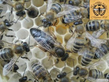 Плідні, мічені бджоломатки породи Карпатка
