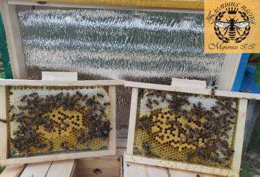 Плодные, меченые пчеломатки породы Карпатка