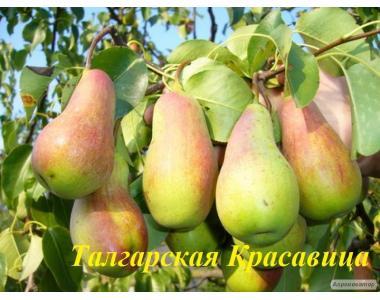 Саджанці груші сорту Талгарская Красуня